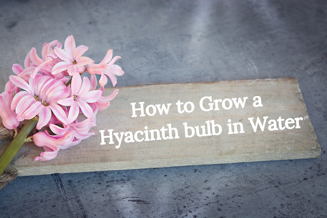 How to grow a hyacinth bulb in a glass vase product range growing hyacinths in water sometimes called forcing hyacinths is a beautiful way to bring a touch of colour and a gorgeous scent to your home reviewsmspy