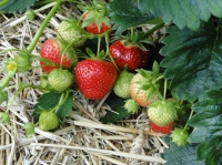 Bring in strawberry plants for forcing