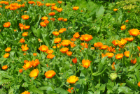 Create a bed of hardy annuals