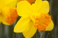 Daffodils are blooming all over the country