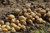 Dare to plant your new potatoes