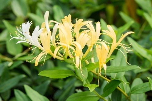 Garden plant of the moment: Honeysuckle