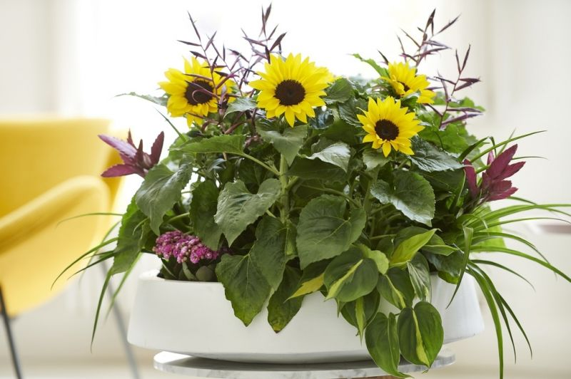 Houseplant of the month: Sunflower