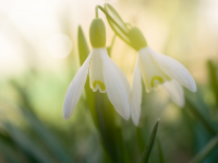 It's snowdrop festival time