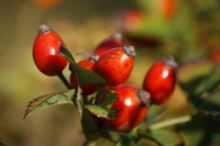 It's time to make rosehip syrup