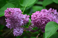 It's time to prune your late-flowering shrubs