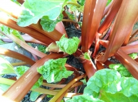 Lift and divide rhubarb