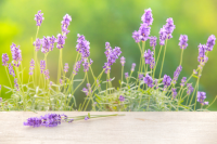 Plant of the week: Lavender
