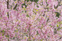 Plant of the week: Prunus