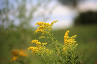 Plant of the Week: Solidago