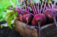 Sow beetroot for delicious early crops within a few weeks' time