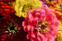 Zinnia 'Zany Rose Picotee' = flower of the year!