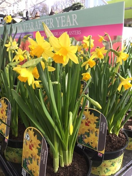 Outdoor Plant Of The Week Narcissus Tete A Tete